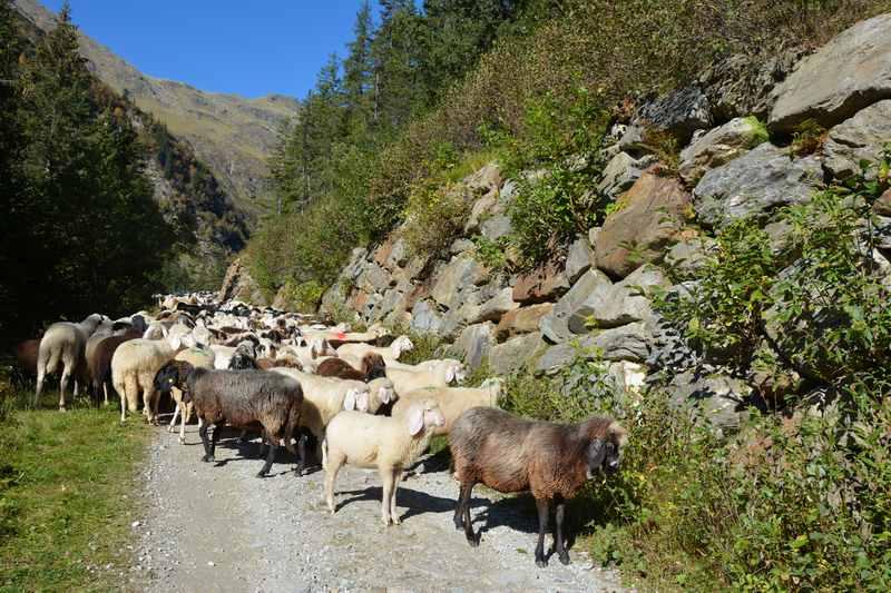 Auf dem Weg zur Burkhardklamm treffen wir Schafe beim Almabtrieb ins Ridnauntal
