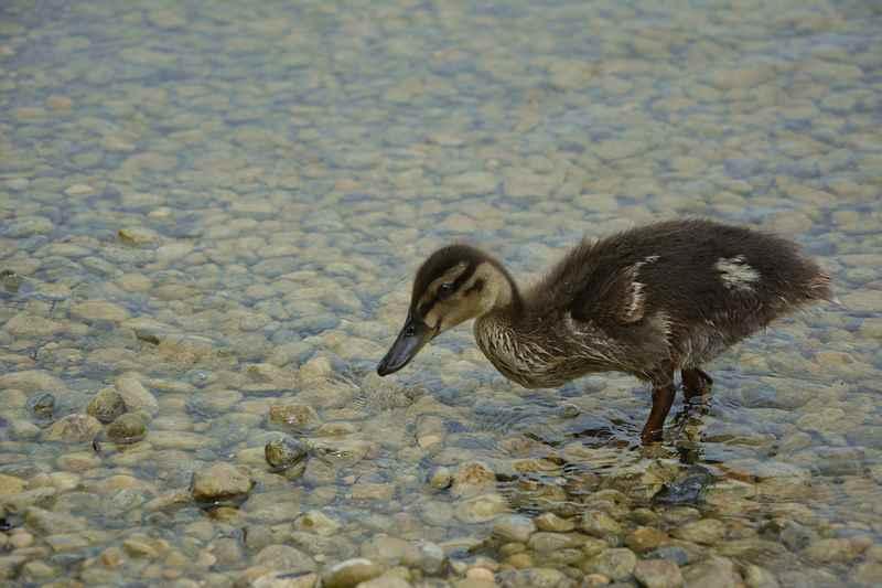 Die kleine Ente kommt neugierig zu uns.
