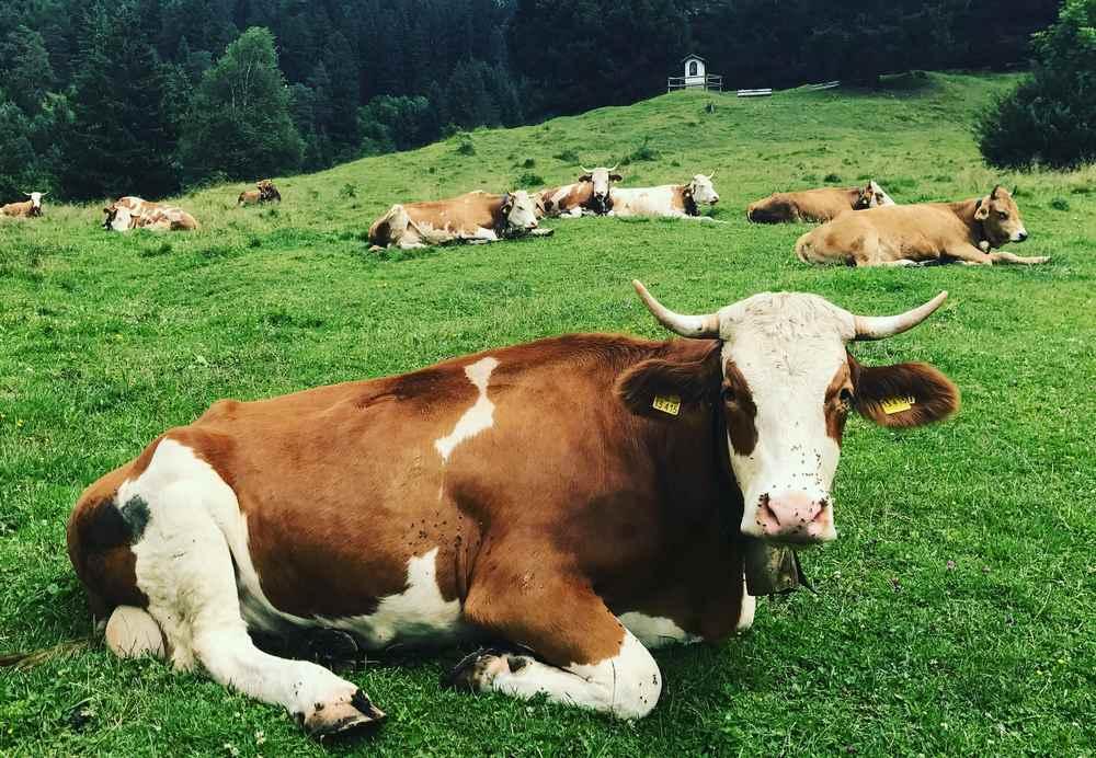 Endlich: den Kindern echte Kühe zeigen, die friedlich auf einer Almwiese sitzen