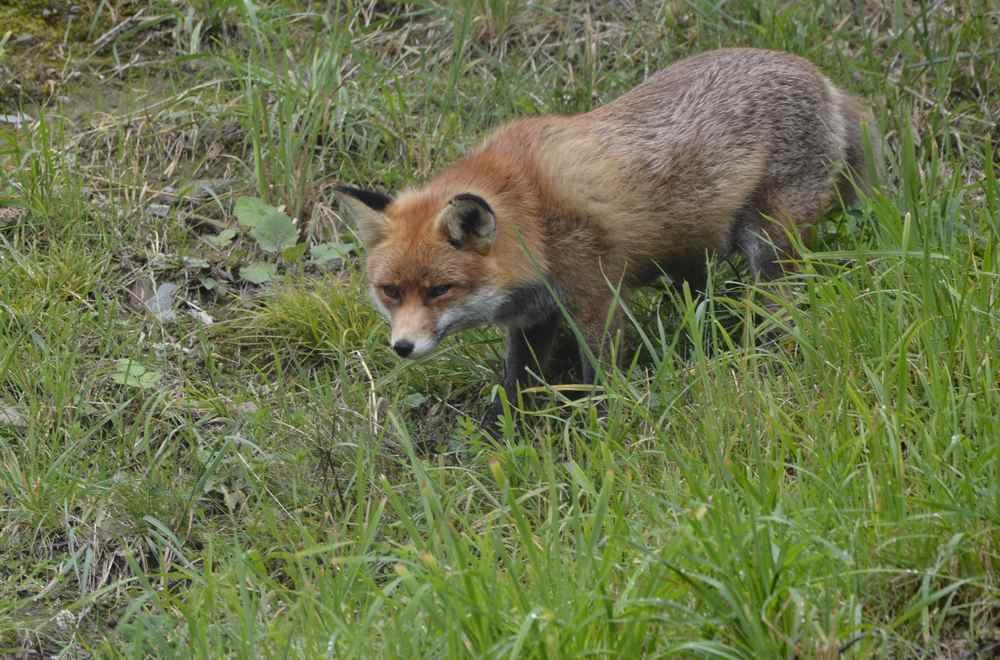 Fütterung im Tierpark am Berg: Um 13 Uhr beobachten wir Fuchs Foxi bei der Fütterung
