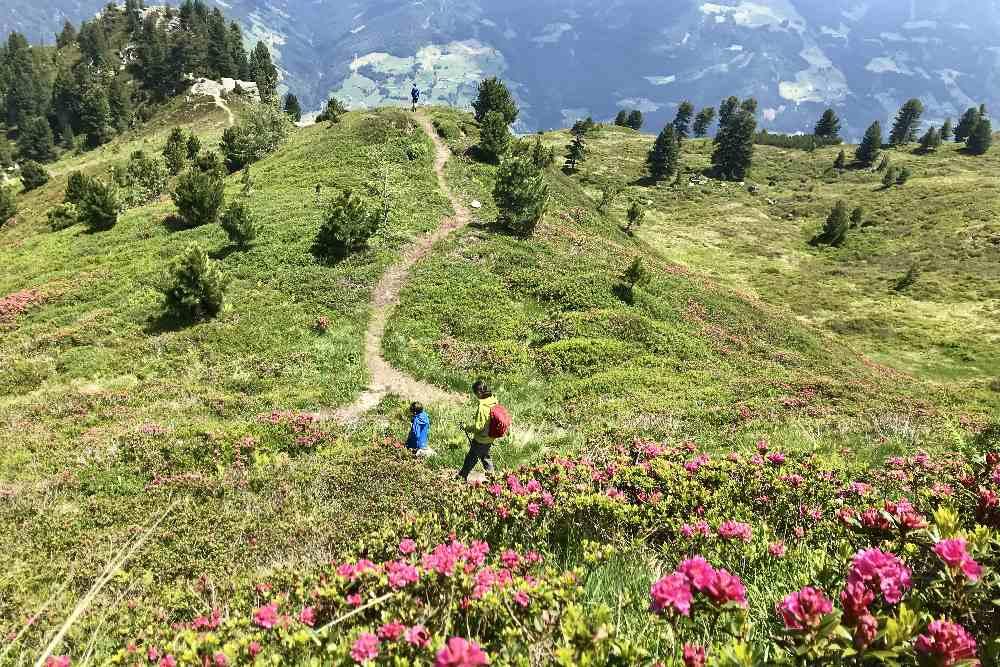 Durch ein Meer aus Almrosen wandern mit Kindern: In Hochzillertal, oberhalb der Kaltenbacher Skihütte