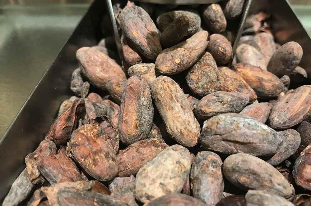 So schauen die Kakaobohnen aus, bevor sie zu Schokolade verarbeitet werden - der Geschmack ist bitter