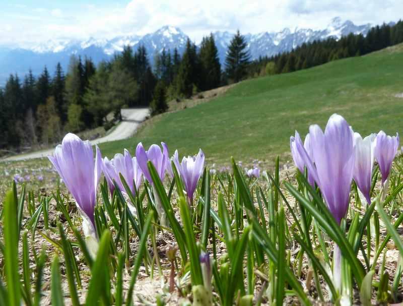 Im Frühling über die blühenden Almwiesen am Kellerjoch wandern