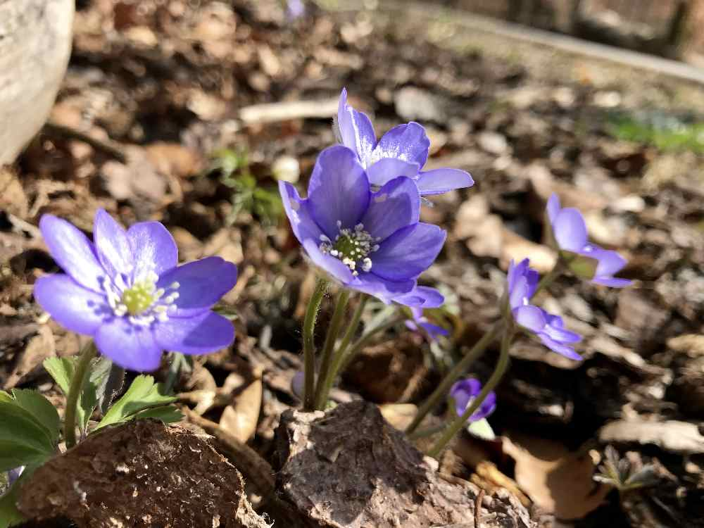 Bei unserem Besuch haben rund um die Königsdorfer Alm die Frühlingsblumen geblüht!