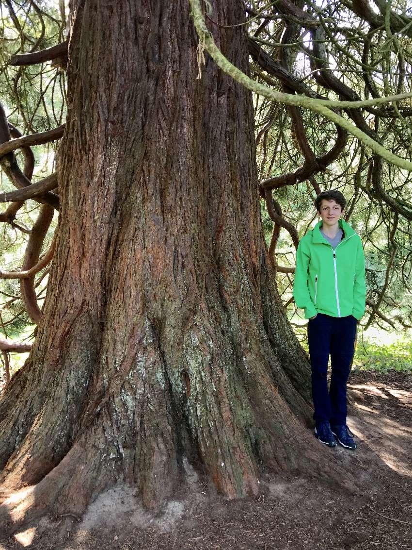Innerhalb des Nationalparkzentrums steht auch dieser dicker uralte Mammutbaum