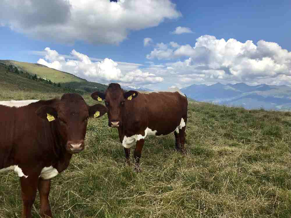 Der Ausblick am Millstätter Törl zu den Hohen Tauern - samt Kühen