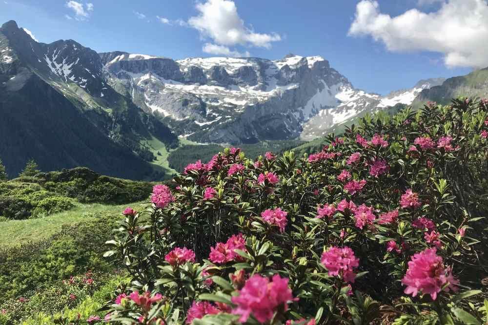 So toll blühen hier oben neben dem Wanderweg die Almrosen im Juni