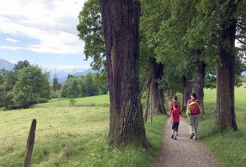 Murnau wandern mit Kindern: Ehrwürdig sind die Eichen, viele hundert Jahre alt, zahlreich und schattenspendend