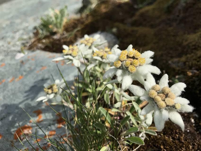 Nicht weit von der Kaiser Franz Josefs Höhe: Die Edelweiß blühen oberhalb der Pasterze! Ohne Nationalpark Ranger hätten wir den Standort sicher nicht gefunden.