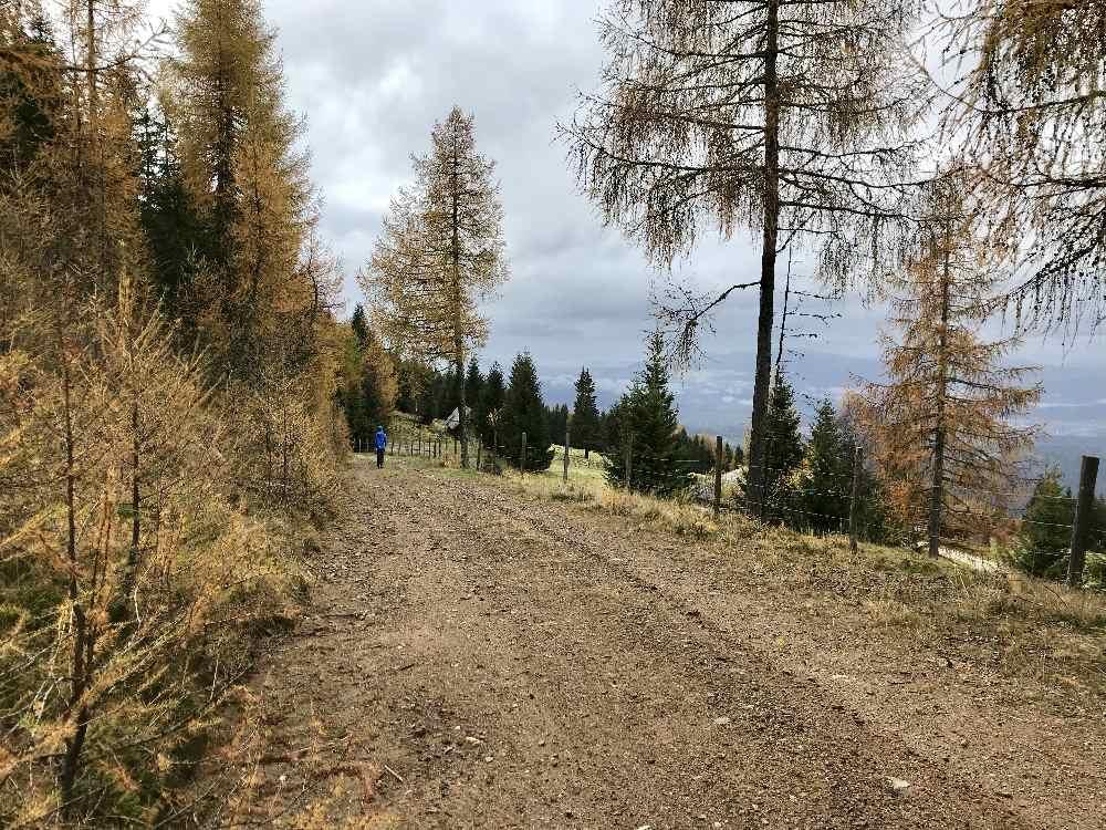 Saualpe wandern: Vorbei an den gelb gefärbten Lärchen wandern wir auf der Forstrasse