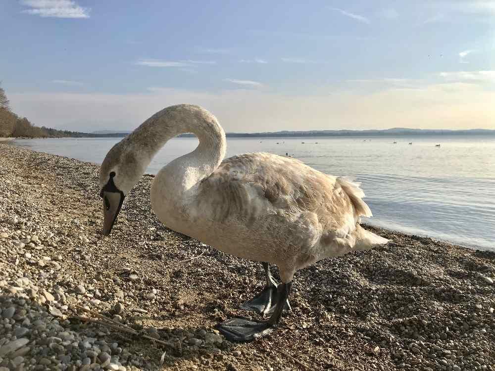 Auch schön für Kinder: Die Schwäne am Starnberger See treffen.
