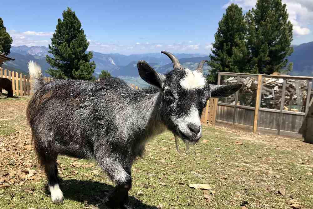 Die zutraulichen Ziegen im Streichelzoo am Berg im Zillertal