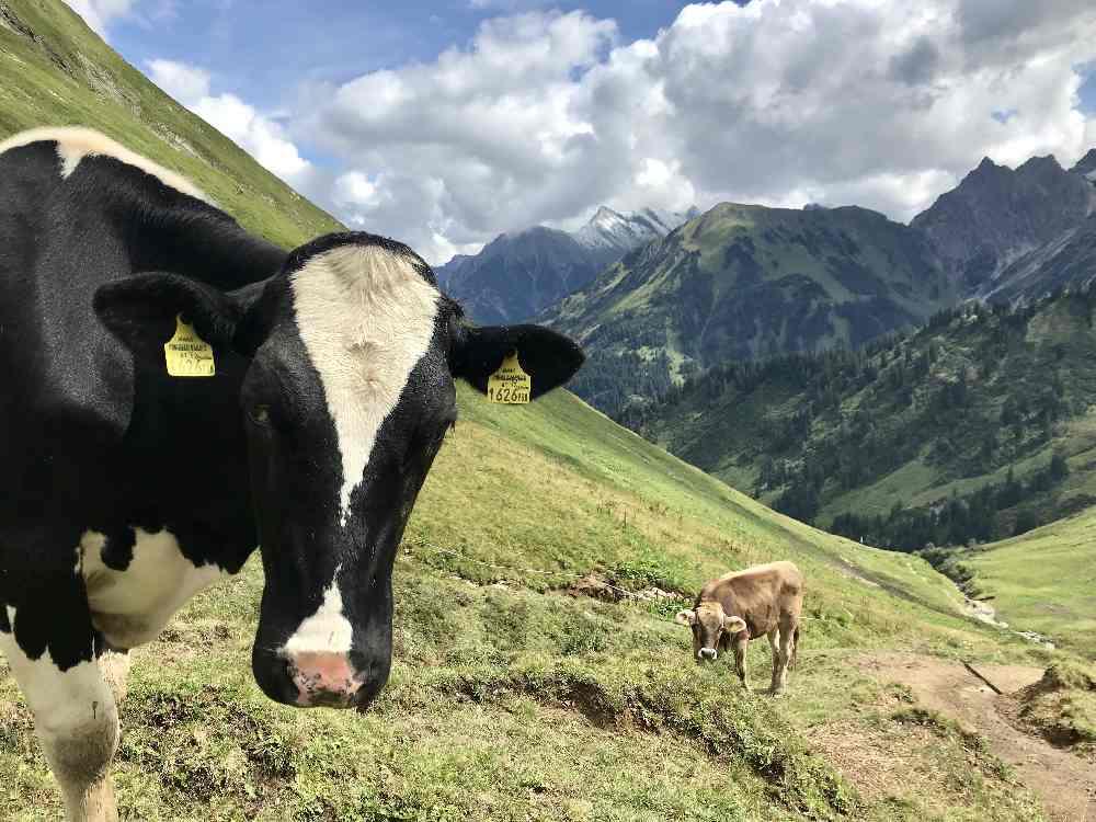 Im Kleinwalsertal wandern mit Kindern und bei den Almen die Kühe treffen