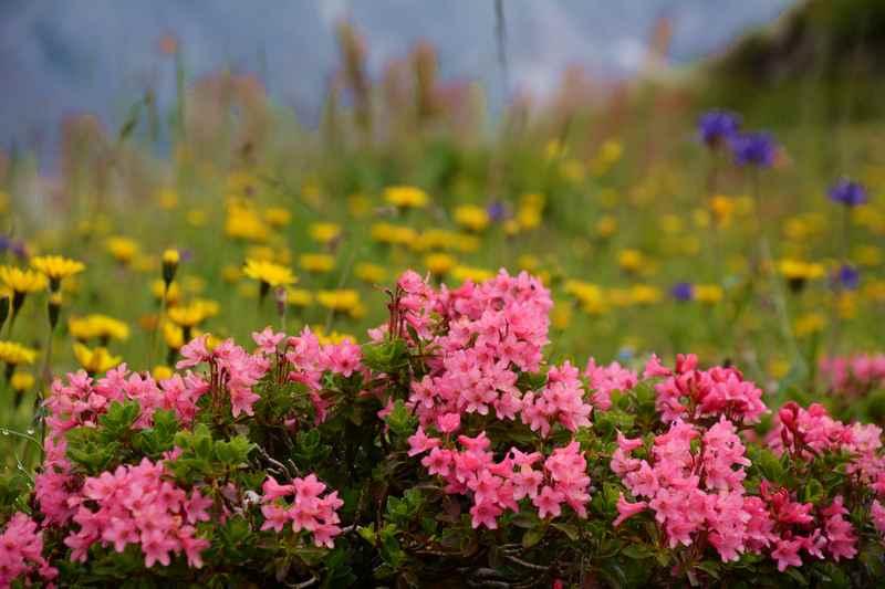 Blumenwiese in den Bergen bei der Hofpürglhütte unterhalb der Bischofsmütze