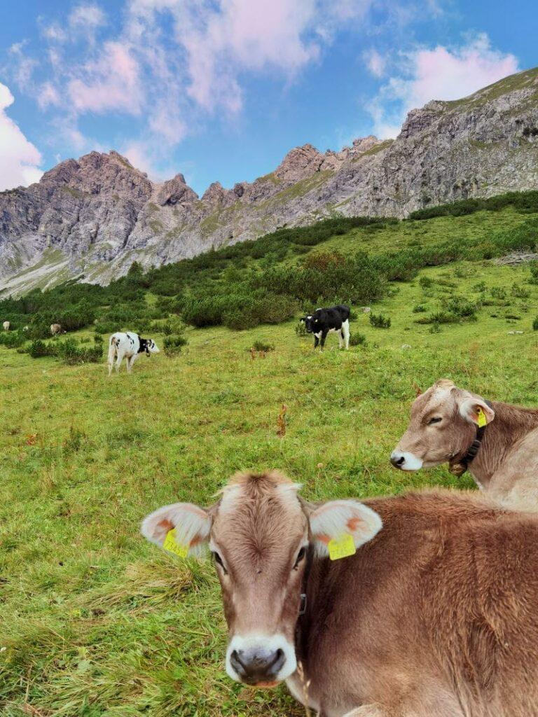 Bei unserer Brandnertal Wanderung treffen wir auch Kühe auf der Almwiese