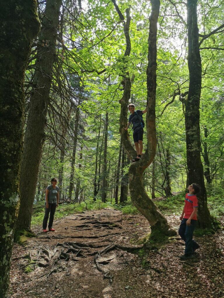 Kleine Klettereinlage am Baum, direkt am Wandersteig zur Gaisalm