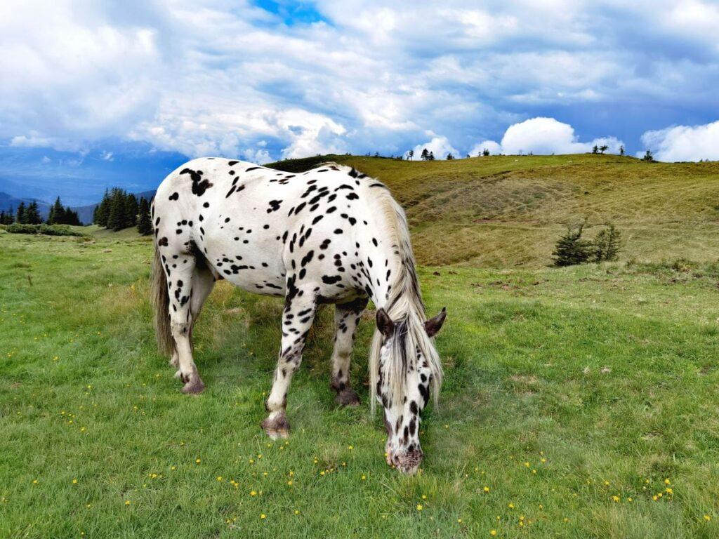 Unsere Hoher Freschen Wanderung führt den Pferden vorbei - Almidylle pur!