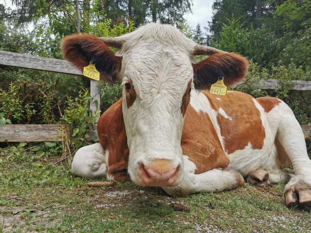 Echt Österreich: Die freilaufenden Kühe unterhalb vom Gollinger Wasserfall