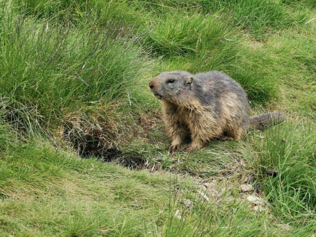 Echte Murmeltiere im Murmelland Zillertal beobachten!