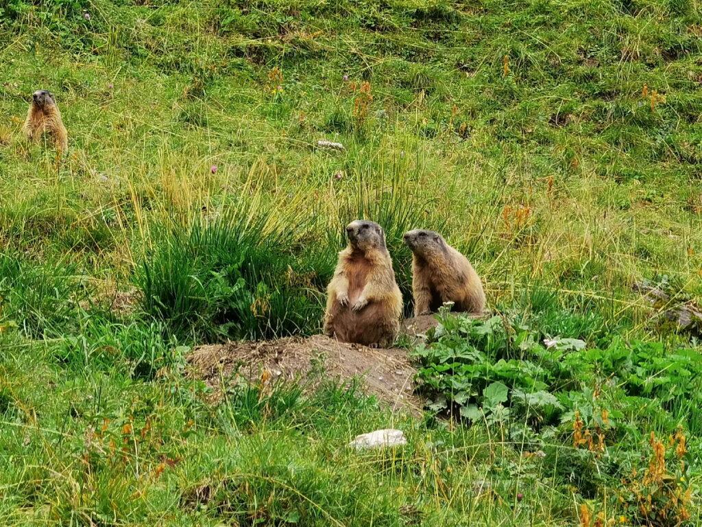 Familienurlaub Tux - echte Murmeltiere neben dem Wasserfall Wanderweg