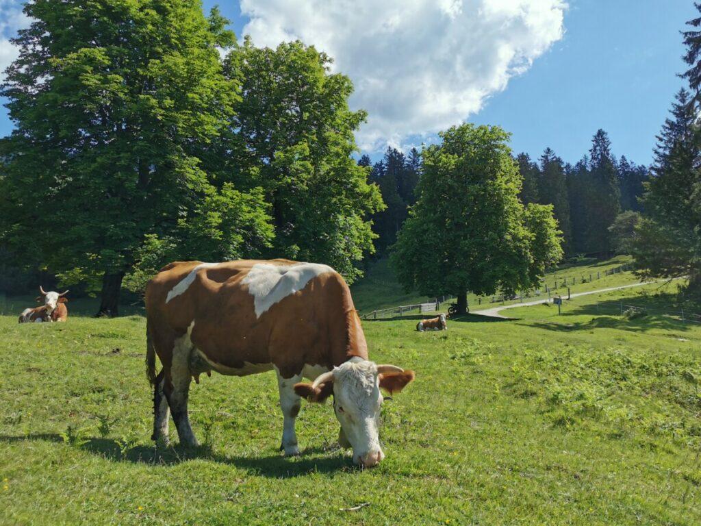 Ein Erlebnis auf deiner Wanderung: Direkt neben den Kühen wandern