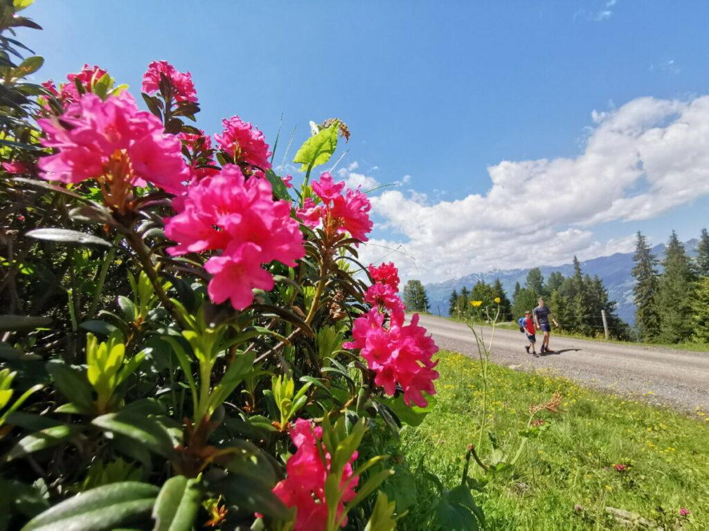 Im Zillertal wandern - besonders schön zur Blüte der Almrosen