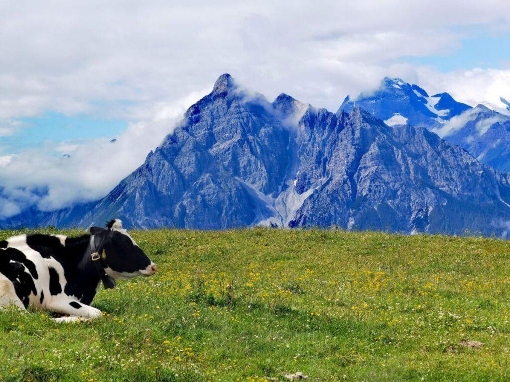 Zirbenweg Idylle - die Kühe genießen den Bergommer mit Blick zur Serles